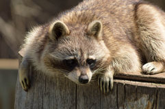 Raccoon on a log. royalty free stock photography