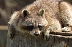 Raccoon on a log. Happy raccoon on a log Royalty Free Stock Photography