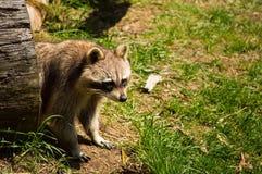 Raccoon on a log. Stock Photography