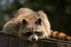 Raccoon on a log. Stock Photography