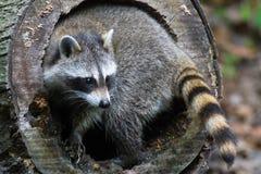 Raccoon log Royalty Free Stock Image