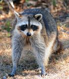 Raccoon Looking Royalty Free Stock Image