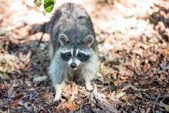 Raccoon looking at camera Stock Photos