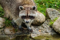 Curiously looking raccoon along a brook royalty free stock image