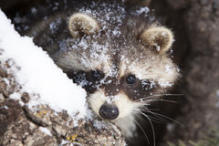 Raccoon looking dead ahead Stock Images