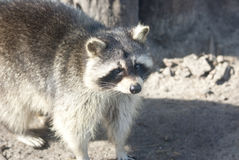 Raccoon looking into the distance on a sunny spring day. Royalty Free Stock Photos