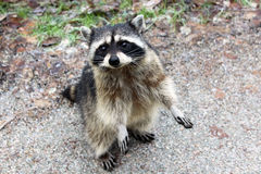 Cute Raccoon in Stanley Park of Vancouver Stock Image