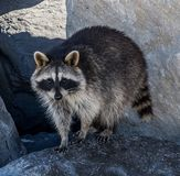Raccoon looking for food royalty free stock image