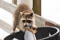 Raccoon looking for food in trash. Can royalty free stock image
