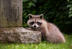 Raccoon looking from beside a tombstone in Toronto stock photography