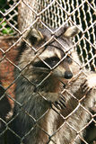 Caged raccoon Royalty Free Stock Photography