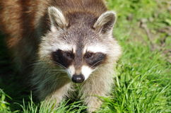 A raccoon Stock Photography