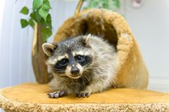 The raccoon looks. Funny raccoon looks at the frame Stock Image