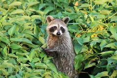 Racoon applauding royalty free stock images