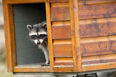 Raccoon looks out from feeding box. Royalty Free Stock Photography