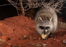A raccoon looks strait into the camera as it enjoys a midnight snack of pear apple on a chilly winter night stock image