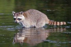 Raccoon, lotor Procyon Стоковые Изображения
