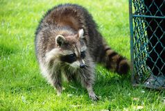 Raccoon at lunch stock photos