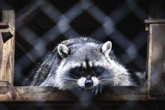 Raccoon lying behind the fence