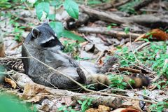 Raccoon lying on his back, adhere to cleaning Royalty Free Stock Images