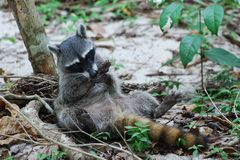 Raccoon lying on his back, makes his paws clean Royalty Free Stock Photography