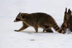 Raccoon Making Tracks Stock Images
