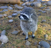 Raccoon mammal america moustaches fur Royalty Free Stock Images