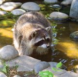 Raccoon mammal predator America zoo fur Royalty Free Stock Image