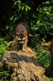 Raccoon walking along tree trunk stock image