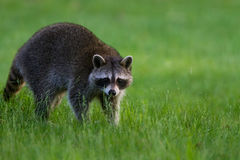 Raccoon meadow Stock Images