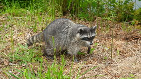 Raccoon on the move. In Vancouver, Canada Stock Photography