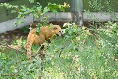 Raccoon nasuella olivacea Stock Photo