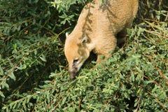 Raccoon nasuella olivacea Royalty Free Stock Photography