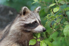 raccoon in nature Stock Images