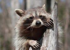 Raccoon in nature Stock Photos