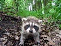 Raccoon nel legno Immagine Stock Libera da Diritti