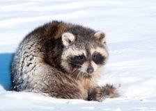 Raccoon nella neve Fotografie Stock Libere da Diritti