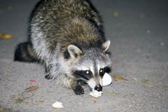 Raccoon at night eating food Royalty Free Stock Image