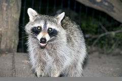 Raccoon at night Royalty Free Stock Photography