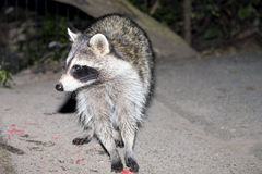 Raccoon at night Stock Photo