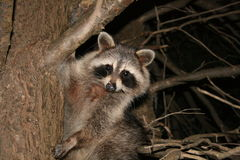 RACCOON nightime in tree Royalty Free Stock Photo