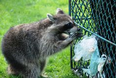 Raccoon no almoço fotos de stock royalty free