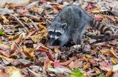 raccoon stock foto