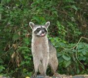 Raccoon nordico Fotografie Stock Libere da Diritti