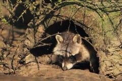Raccoon nordico Immagine Stock Libera da Diritti