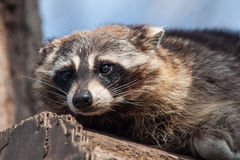 Raccoon portrait Royalty Free Stock Photography