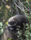 Raccoon novo Foto de Stock Royalty Free