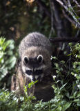 Raccoon novo Imagem de Stock Royalty Free