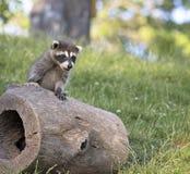 Raccoon novo Imagem de Stock