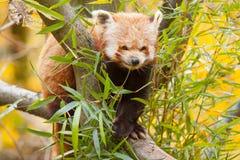 Raccoon Royalty Free Stock Photo